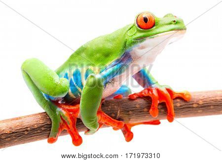 Red eyed tree frog from the tropical rain forest of Costa Rica isolated on white.