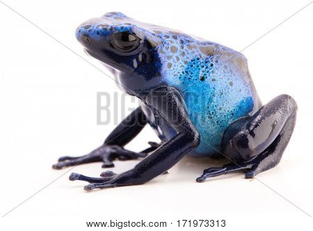 poison arrow frog, Dendrobates azureus a toxic blue animal from the Amazon rain forest. Poisonous amphibian isolated on a white background