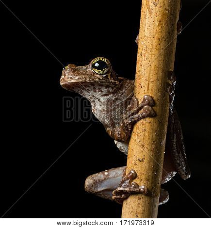 Tropical tree frog, Osteocephalus taurinus. A treefrog from the Amazon raon forest with beautiful colored eyes. Macro of an exotic animal at night.
