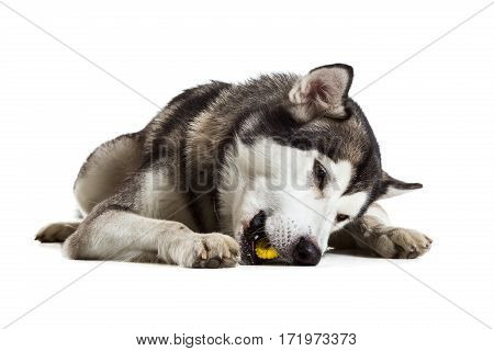 Alaskan Malamute sitting in front of white background. Dog lying on the floor. Toy for dog