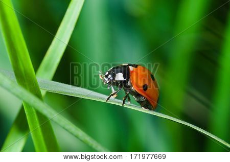 Lonely ladybird walking in green grass jungle.