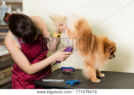 Groomer woman haircut cute pet in hair service. Dog grooming