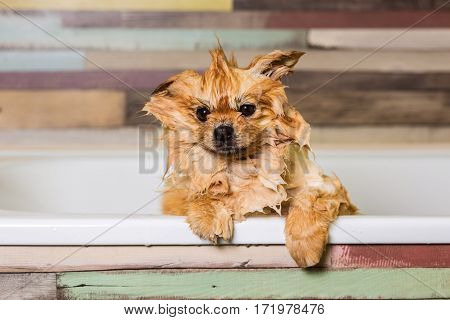 Wet little dog with one ear raised, sitting in the bathroom. Bathing pomeranian spitz