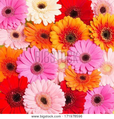 Colorfull blooming Gerbera flowers seen from above