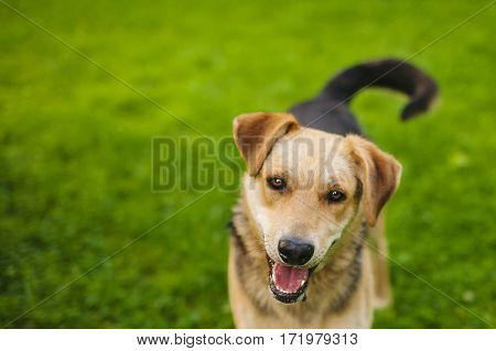 Cute Beagles playing in backyard. Dog with devoted eyes looking in camera. Playful puppy walking on green meadow. Dog cub with black tail. Smart look, best friend