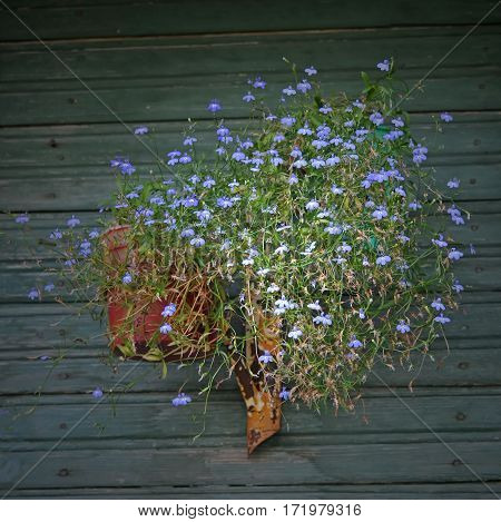 Bouquet of blue wild flowers on the wall of an old veranda