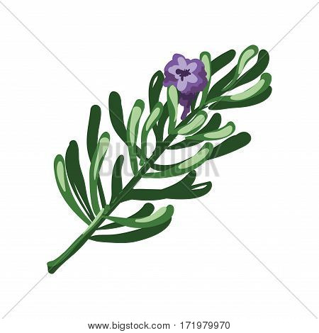 Rosemary branch and purple flower isolated on white. Rosmarinus officinalis perennial herb with evergreen needle-like leaves. Seasoning ingredient for cooking. Green herb spice vector illustration