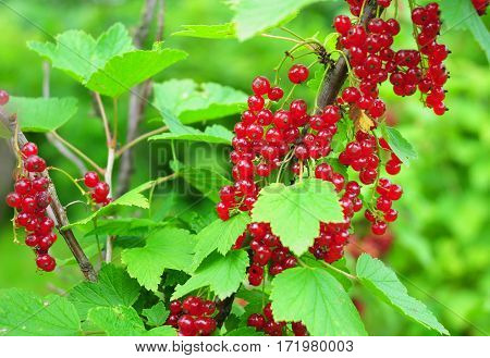 Organic gardening.The redcurrant or red currant (Ribes rubrum) with leaves on branch