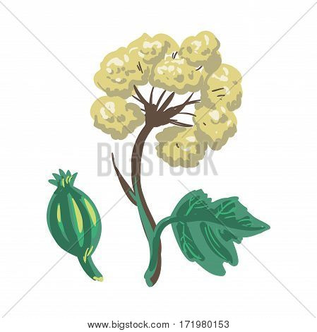 Lovage herbaceous, tall perennial plant isolated on white. Medical plant with stems and leaves shiny glabrous green to yellow-green. Herbs and spices collection. Realistic vector of flower, bud and leaves