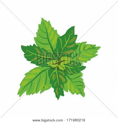 Melissa or mint isolated on white background. Melissa officinalis herbs spices. Healthy food natural organic plant. Kitchen herbs spices banner. Green aromatic leaves realistic vector illustration