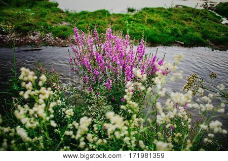 Purple lavender and white chamomile flowers on bank of the river. Rural landscape natural scenery
