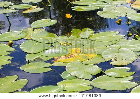 Yellow water flowers (Nuphar Lutea) in the lake