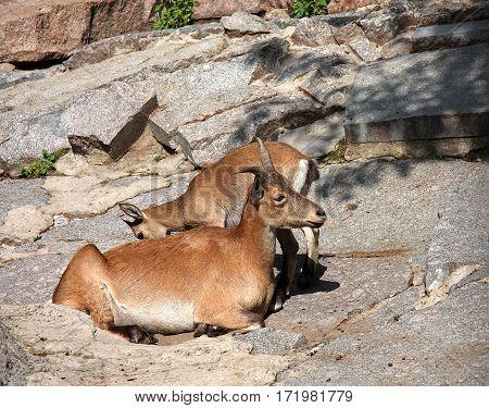 The snow goat lies on a stone near a kid