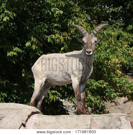 The mountain goat costs on a boulder