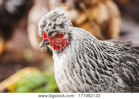 Chicken head with tuft. Silver-gray tint feathered bird. Hen head on blurred background