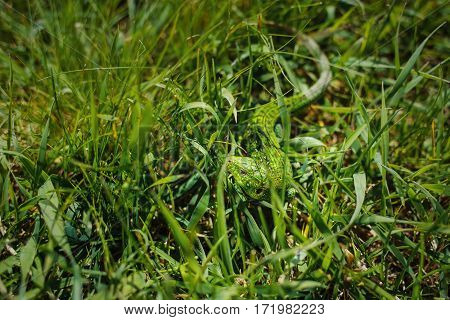 Iguana hiding in green grass. Salamander motionless stopped. Lizard reptile close up portrait.