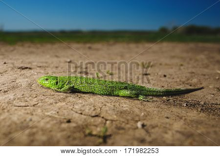 Bright green lizard close-up on ground. Full lenfth portrait of green reptile. Iguana sitting on the stone. Squamata or scaled reptile