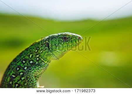 Head, part of torso of green iguana on green blurred background. Salamander motionless stopped. Reptile close up portrait. Lizard focused image