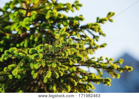 New pine branches isolated on blurred background. Daylight illuminates fir branches. Spruce needles at springtime