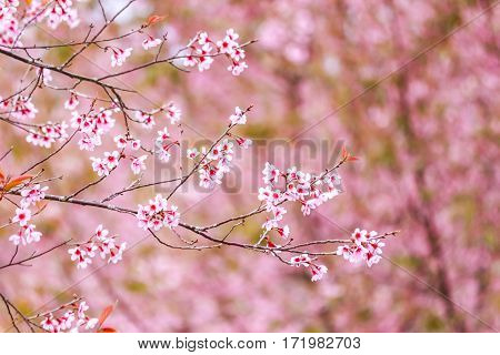 Cherry Blossom Flower And Tree