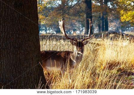 A fallow deer in Richmond Park London