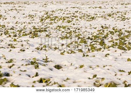 photo of a field covered by snow with weeds emerging on surface