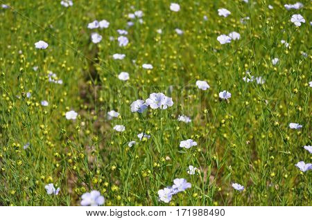 Flax Flowers. Close up on Flax Field.