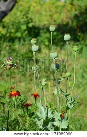 Growing opium poppyhead. Harvest of opium from green poppy.