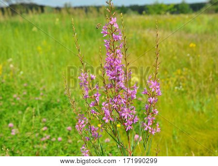 Chamerion angustifolium commonly known in North America as fireweed in some parts of Canada as great willowherb and in Britain as rosebay willowherb is a perennial herbaceous tea plant.