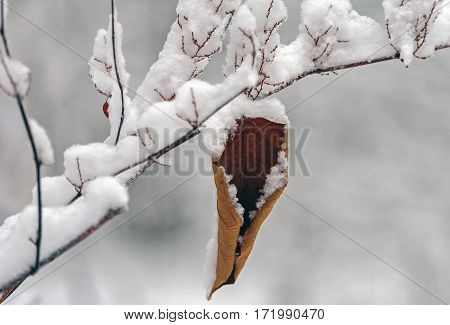 On the thin snowy twig hanging brown withered leaf covered in snow.