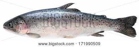 Fresh trout isolated on white with clipping paths