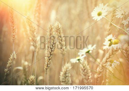 Ear of wheat - beautiful wheat field and daisy flower lit by sunlight