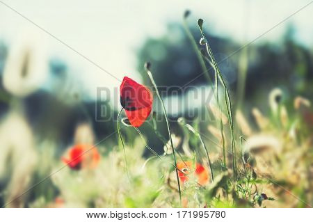 Red Poppy Flowers In The Field At Sunset