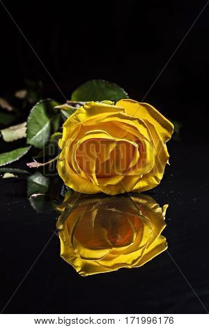One Yellow Rose With Drops On A Blue Background