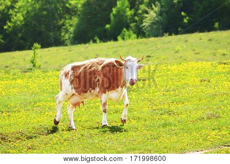 Cow on dandelion field in the spring