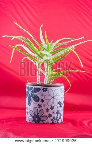Beautiful aloe vera plat in the flower pot