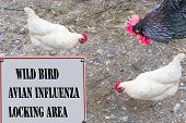 Sign with red border and inscription in English Wild Bird - avian influenza Locking area. In the background a rooster and two chickens. poster