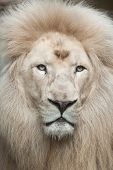 Male white lion. The whitelion is a colour mutation of the Transvaal lion (Panthera leo krugeri), also known as the Southeast African lion. poster