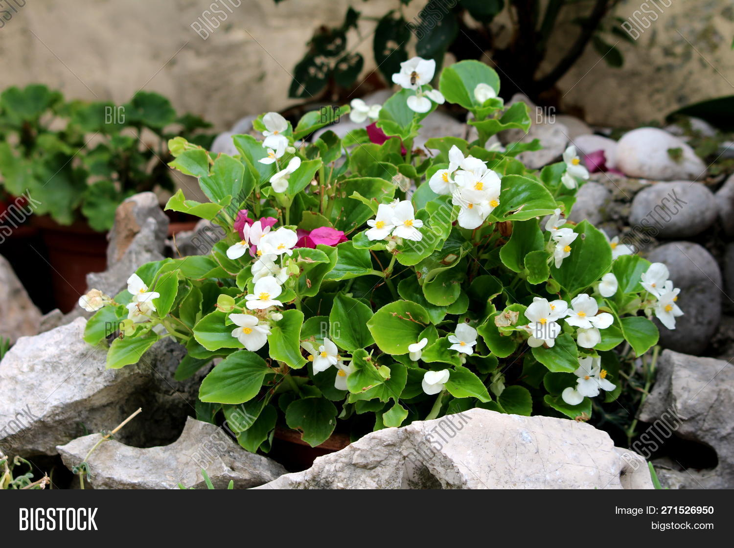 Begonia Plant Light Image & Photo (Free Trial) | Bigstock