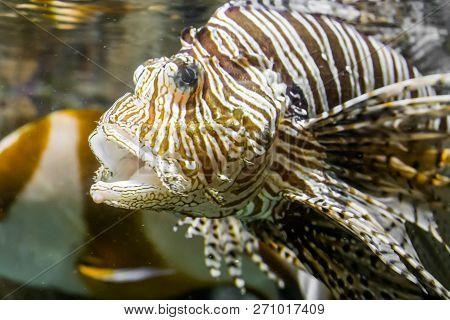 Closeup Of A Lionfish Head With Open Mouth, A Tropical Venomous Aquarium Pet.
