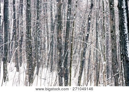 Wild forest at winter snowstorm