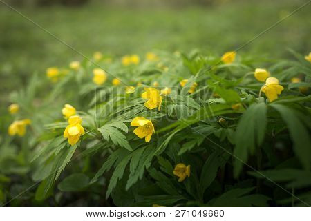 Beautiful Anemone Ranunculoides Flowers In The Spring