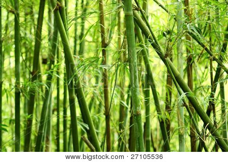 bamboo background in nature at day