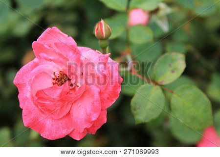 Natural Flower Background With Rose Flower In Soft Sunlight. Flower Background. Pink Rose Flower, Cl