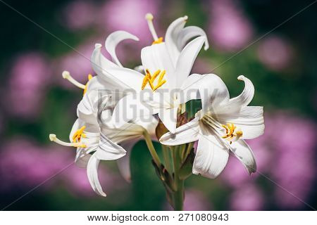 White Lily On Green, Purple Flower Background