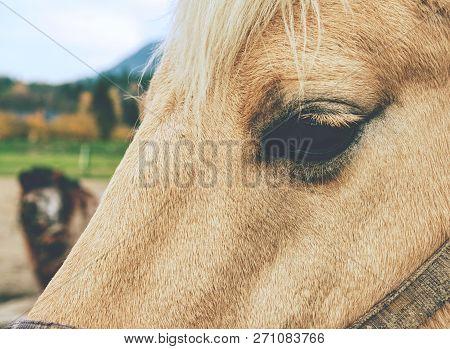 White Horse Portrait. Eye Detail Of White Horse Head With Halter  In Horse Farm.