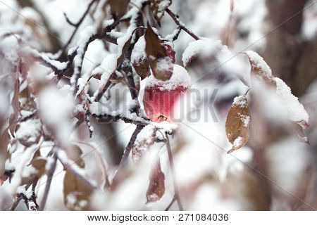 Red Apples Under The Snow. Apples On A Tree Under Fresh Snow. Red Apples On An Apple-tree Covered Wi