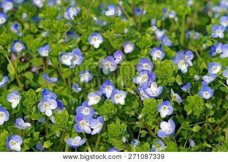 Flowers Of Veronica Persica (birdeye Speedwell, Common Field-speedwell, Persian Speedwell, Large Fie