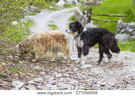 Dogs Outdoor In A Park Along A Mountain Trail, Bichon Havanais Breed