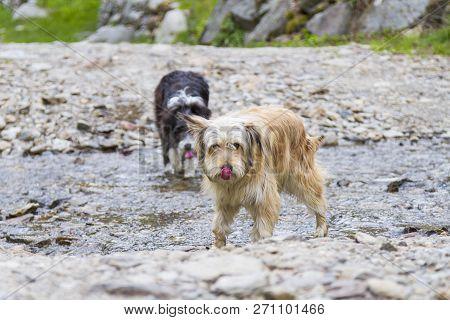 Beauty Dogs Outdoor In A Park Along A River, Bichon Havanais Breed